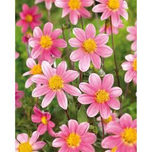 Single Dahlia Topmix Pink