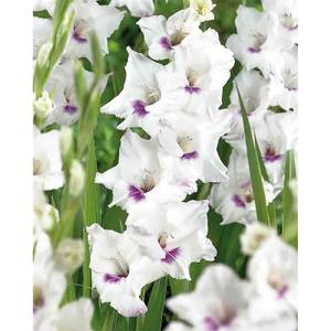 Large Flowering Gladioli Home Coming