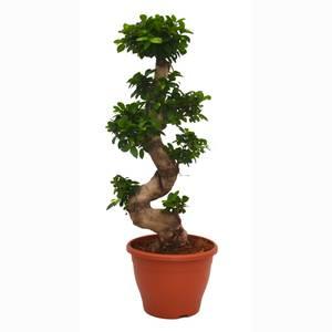 Ficus Ginseng (Ficus microcarpa) S-Shape Houseplant - 29cm