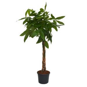 Pachira aquatica (Money Tree) Houseplant - 29cm