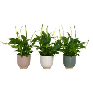 Spathiphyllum (Peace Lily) Houseplant in Twice Pot - 9.5cm