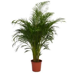 Areca Palm (Butterfly Palm) Houseplant - 27cm
