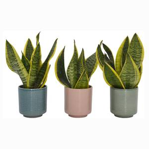 Sansevieria (Mothers in Law Tongue) Houseplant in Cero Pot - 10cm