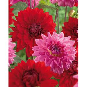Dahlias Garden Wonder Rosella