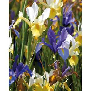 Dutch Iris Mixed