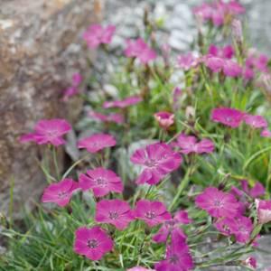 Dianthus Alpine Collection 1L