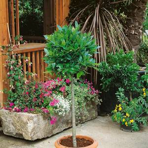 Bay Tree Standard 24cm