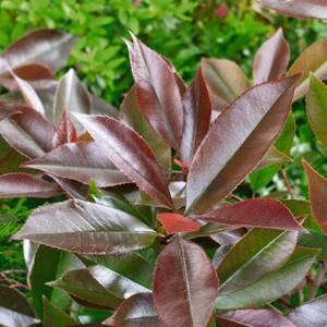 Photinia Red Robin 15L
