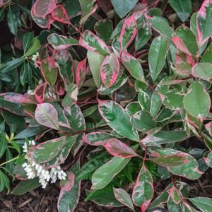 Photinia Pink Louise 15L