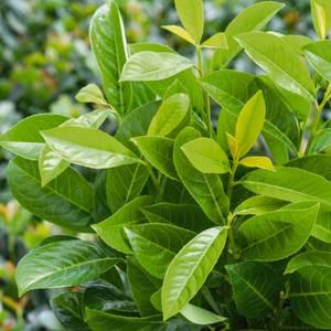 Prunus Rotundifolia 15L