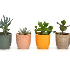 Succulent in Cella pot 7cm