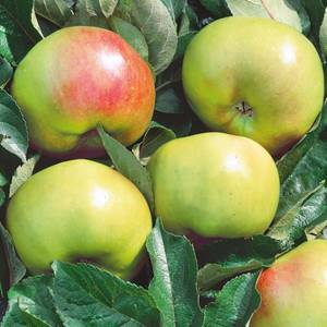 Bramley Apple 7.5L