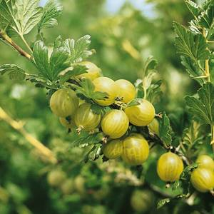 Gooseberry OW 2L Fruit Plant