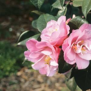 Camellia Mix 20 Buds 27cm