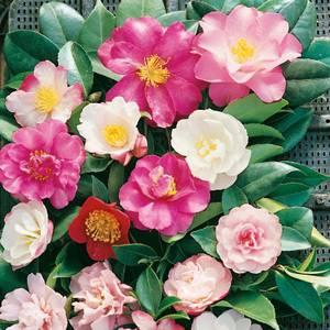 Camellia Mix 12cm