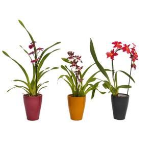 Orchid (1-spike) in Ceramic Pot
