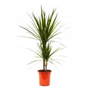 Dragon Plant