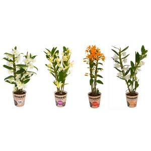 Bamboo Orchid (Dendrobium nobilé) 2 spike - 12cm