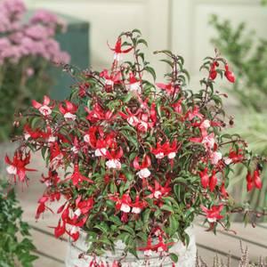 Fuchsia Hardy Mixed 2L