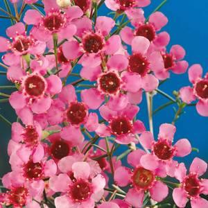 Wax Flower 17cm bush