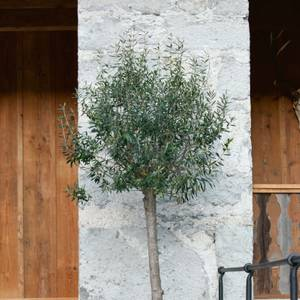 35L Olive Tree