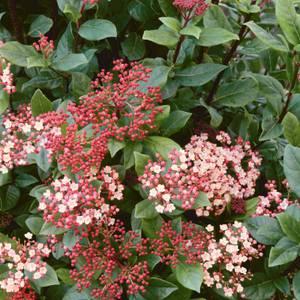 Viburnum Tinus Mixed 10L