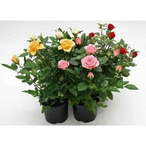 Miniature Rose Houseplant - 10.5cm