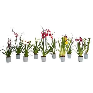 Fragrance Mix Orchids 2 Spike - 12cm