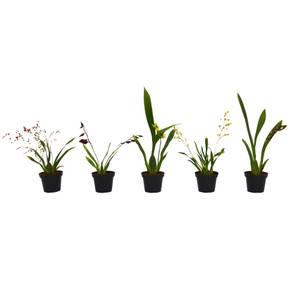 Mini Mix Orchids 8cm